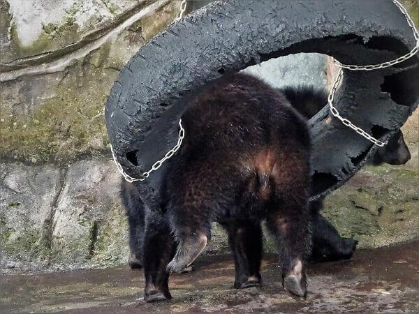 タイヤで遊ぶクマ