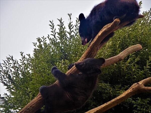 2匹の戯れるクマ