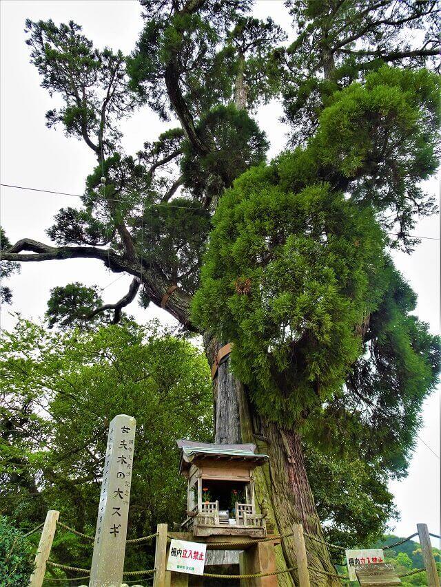 女夫木の大スギ